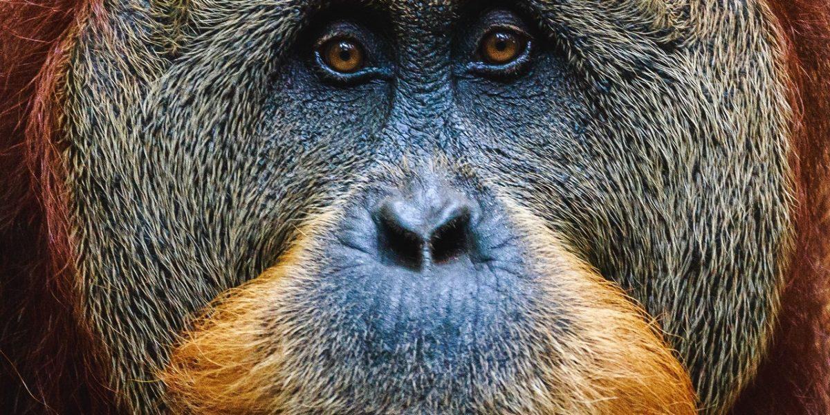 Orang-Utans können auch planen und ihre Artgenossen darüber informieren
